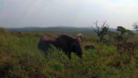 四处觅食在美丽的南非原野的野生性的一个小组大象 股票录像