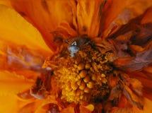 Ściga na pomarańczowym kwiacie zamkniętym w górę obrazy stock