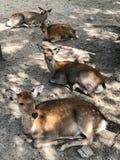 Śliczni deers w Nara parku, Japonia fotografia royalty free