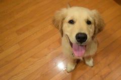 Śliczny Żółty labrador w świacie zdjęcie stock