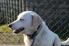 Śliczny biały labradora psa uśmiech obrazy royalty free