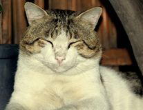 Śliczny brąz i biel coloued kot obrazy stock