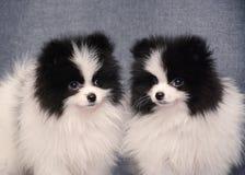 Śliczny Dwa szczeniak spitz na szarym tle fotografia royalty free
