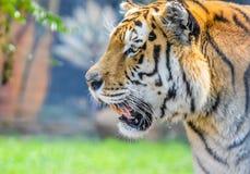 Śliczny i piękny Bengalia tygrys w zoo w Południowa Afryka obraz royalty free