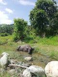 Śliczny karłowaty bizon ono chłodzi w zatoczce obraz stock