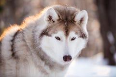 Śliczny, poważny i bezpłatny Syberyjskiego husky psa obsiadanie na śnieżnej ścieżce w zima lesie przy zmierzchem, obrazy royalty free