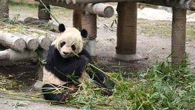 Śliczny szczęśliwy gigantycznej pandy obsiadanie wśród bambus gałąź i łasowanie bambusa 4K wideo, zwolnione tempo zbiory wideo