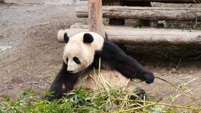 Śliczny szczęśliwy gigantycznej pandy obsiadanie wśród bambus gałąź i łasowanie bambusa 4K wideo, zwolnione tempo zdjęcie wideo