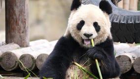 Śliczny szczęśliwy gigantycznej pandy obsiadanie wśród bambus gałąź i łasowanie bambusa 4K wideo, zwolnione tempo zbiory