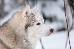 Śliczny, szczęśliwy i bezpłatny beżu psa trakenu siberian husky obsiadanie na śniegu w czarodziejskim zima lesie, obrazy royalty free