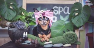 Śliczny zwierzę domowe relaksuje w zdroju wellness Pies w turbanie ręcznik wśród zdrój opieki rośliien i rzeczy fotografia stock