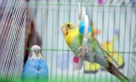Śmieszna nierozłączka w klatce przy okno Zielony budgie w birdcage Domu zwierzę domowe Kolorowa papuga w klatce dla sprzedaży w z zdjęcie royalty free