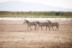 Śmieszna zebry Equus kwaga fotografia royalty free