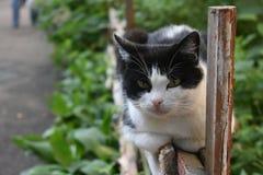 Śmieszny czarny i biały kot kłama na starym drewnianym ogrodzeniu i ostrożnie patrzeje gdzieś w lato ranku obraz royalty free