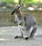 Śmieszny Necked wallaby lub Bennett wallaby Macropus rufogriseus obrazy royalty free