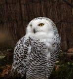 Śnieżna sowa, dymienicy scandiacus jest wielkim, białym sową sowy rodzina, obrazy royalty free