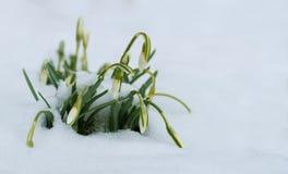 Śnieżyczki kwitną w śniegu przy wczesną wiosną fotografia royalty free