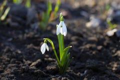 Śnieżyczki lub błonie śnieżyczki Galanthus nivalis kwiaty Śnieżyczki wiosny kwiaty zdjęcie royalty free