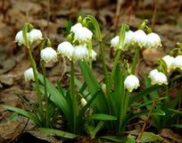 Śnieżyczki wiosny kwiaty zdjęcia stock