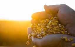 Średniorolnego mienia dojrzała kukurudza groszkuje w jego rękach przy zmierzchem obrazy stock