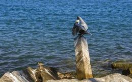 Światło słoneczne i cienie na pelikanów skrzydłach obrazy royalty free