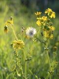Światło słoneczne penetruje żółtych kwiaty mały dandelion, letni dzień w parku przeciw tłu zielona trawa zdjęcia royalty free