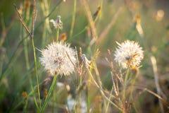 Światły Dandelion W Złotej godzinie fotografia stock
