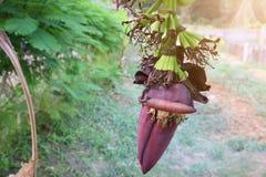 Świeżość bananowy okwitnięcie w ogródzie, naturalny tło obrazy stock