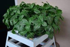 Świeżo zielona nerw roślina w garnek roślinie obraz stock