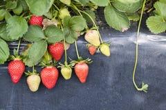 Świeży czerwony truskawki pola szklarni rolnictwo Turcja, Izmir, Emiralem/ zdjęcie royalty free