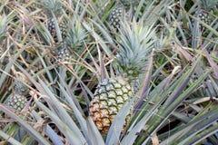 Świeży dojrzały ananas na drzewie zdjęcia stock