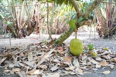 Świeży jackfruit na drzewie w Thailand także znać jako dźwigarki drzewo, fenne, jakfruit, dźwigarka lub jak, czasem po prostu obrazy stock