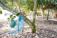Świeży jackfruit na drzewie w Thailand także znać jako dźwigarki drzewo, fenne, jakfruit, dźwigarka lub jak, czasem po prostu obrazy royalty free
