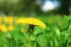 Świeży jaskrawy żółty dandelion kwiat w łące fotografia royalty free