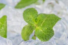 Świeży nowych liści kłamstwo na kostka lodu przygotowanie koktajle Pojęcie świeżość i czystość obrazy stock