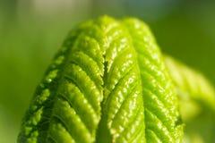 Świeży zielony liść cisawy drzewo zdjęcia stock
