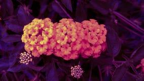 Świezi i piękni żółci kwiaty w pastelu z naturalnego światła tłem obrazy stock