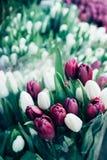 Świezi wiosna bukiety bez i biali tulipanowi pączki zamykają w górę zdjęcia royalty free