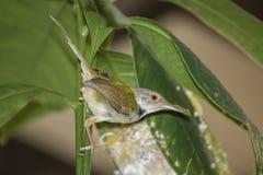 喂养幼鸟的共同的裁缝鸟Orthotomus sutorius对在后面的巢 免版税库存照片
