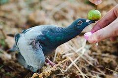 喂养在真正的自然-连接的力量的一只受伤的鸽子人和动物之间的 免版税库存照片