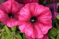 喇叭花猩红色开花在庭院里 免版税库存照片