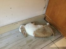 寶 för 小兔 arkivbild