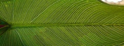 Åder av det gröna bladet som är synliga i ljus av sommar royaltyfria foton