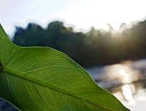 Åder av det gröna bladet som är synliga i ljus av sommarsolnedgången fotografering för bildbyråer