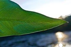 Åder av det gröna bladet som är synliga i ljus av sommarsolnedgången arkivbilder