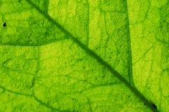 Åder av leafen royaltyfri foto