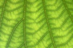 Åder av leafen arkivbilder