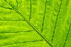 Åder av leafen royaltyfria foton