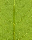 åder för 01 leaf Royaltyfria Bilder