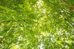 åder för makro för leaf för bakgrundsbambu extrema Royaltyfri Bild